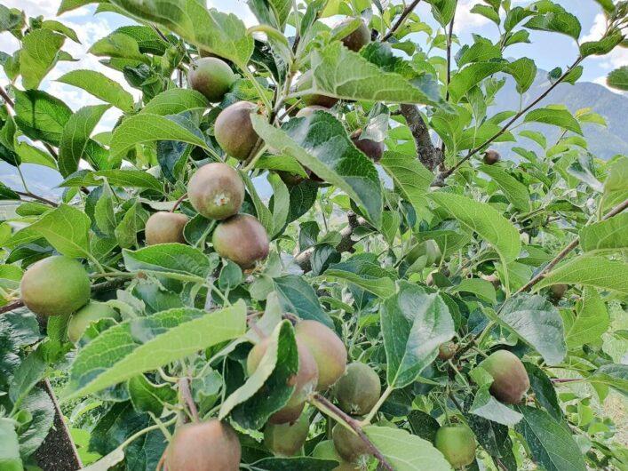 kleine Äpfel am Baum