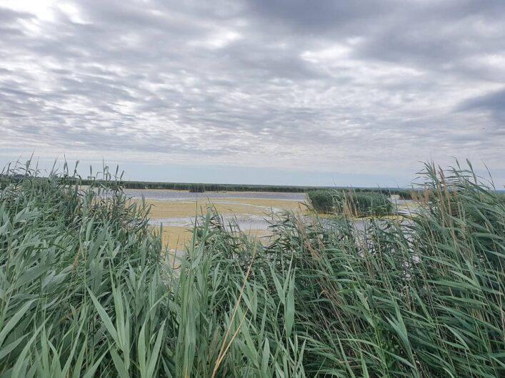 Blick über das Schilf auf einen Ausläufer vom Neusiedler See