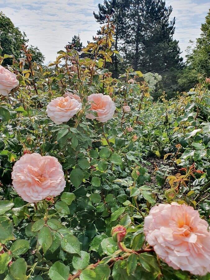 Hell orange Rosen auf der Bundesgartenschau