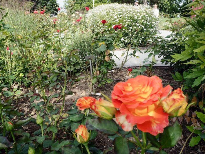 Orange Rosen vor weiß blühenden Pflanzen im Hintergrund