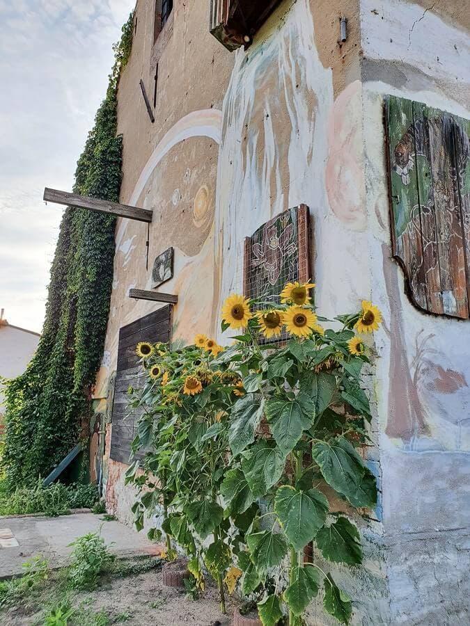 Sonnenblumen am Gästehaus des Elbschloss Kehnert