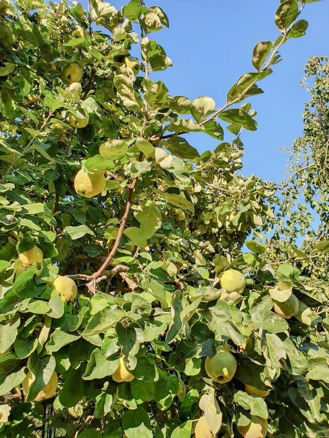 Quittenbaum mit gelben Früchten